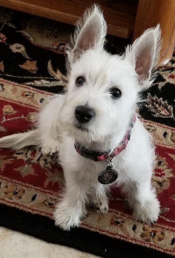 Adopt Bradley Cooper On Petfinder White Terrier West Highland White Terrier West Highland White