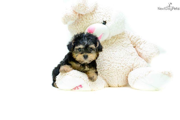 Yorkiepoo - Yorkie Poo puppy for sale near Columbus, Ohio | 889dfd3a-1311