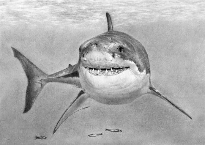 акулы картинки карандашом станет находить даже