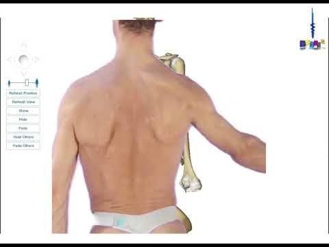 Le membre supérieur : les muscles unissant le membre supérieur à la colo...