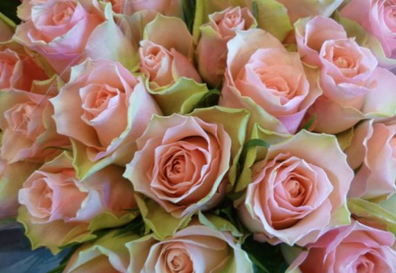 Image result for roser rosa