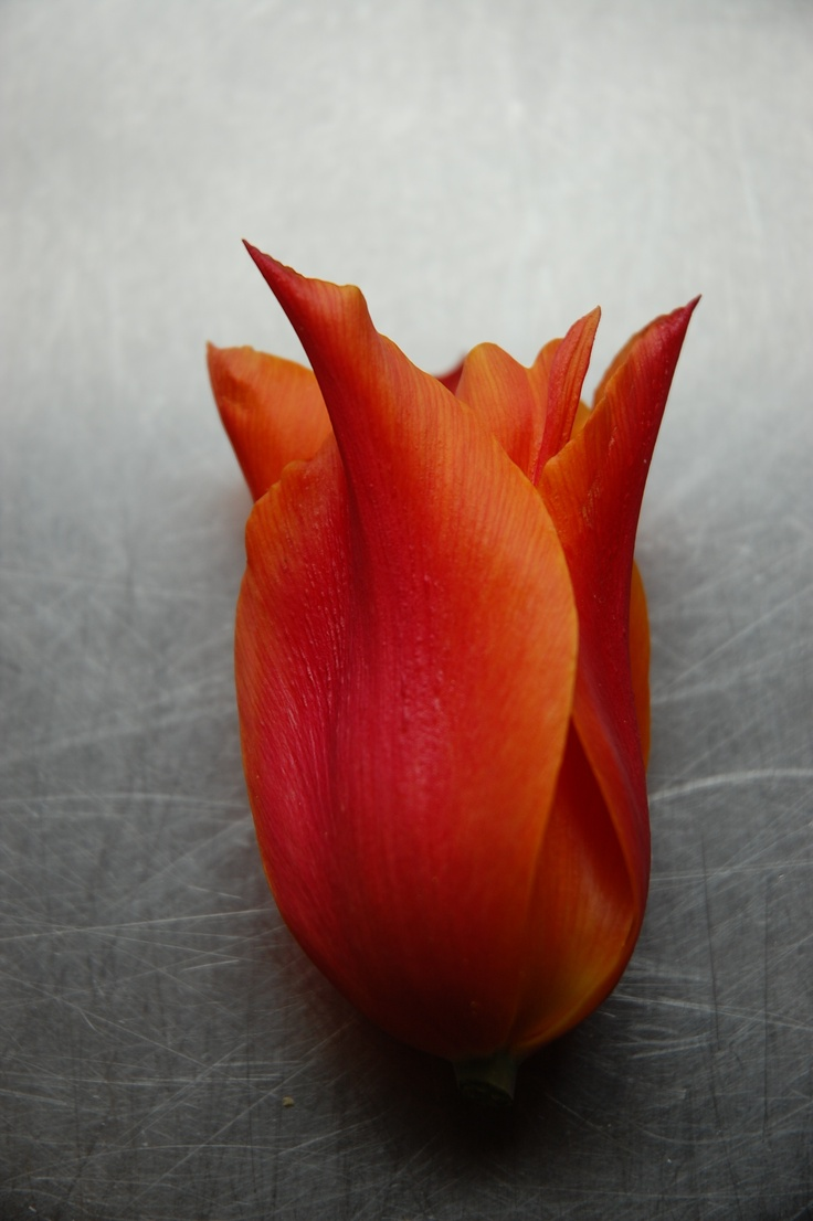 edible ballerina tulip, wonderfully scented, great stuffed or petals ...