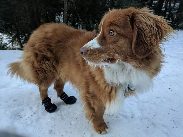 "74 Likes, 1 Comments - Spinnaker (@spin.the.toller) on Instagram: ""A little bit of frosted tips (whiskers) today ❄️ my new boots held up really well on my hike today!…"""
