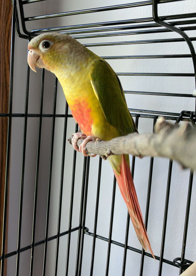 Conures, a type of parrot, are very popular pet birds. Besides being pretty to look at, conures have personality traits (spunky, comical, cuddly, playful) that make them easy to love.https://lafeber.com/pet-birds/species/conure/ With...