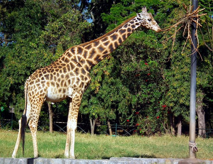 Visitors can also have a better view of its diverse wild life through the Mysore Zoo Safari that has been a great success ever since it was started.