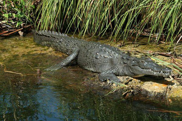 jamaican crocodile - photo #12