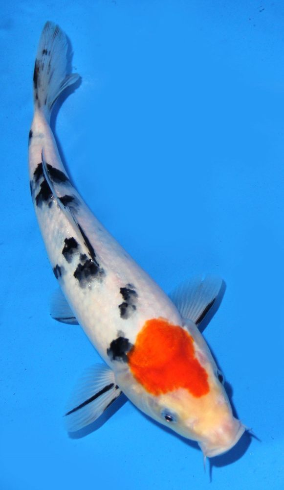 17 best images about koi fish on pinterest zippers for Sanke koi fish
