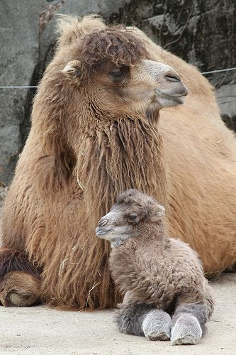 Mother and baby Bactrian camel (Camelus bactrianus)