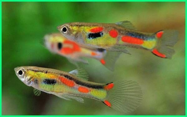 Panduan Lengkap Perawatan Ikan Guppy Endler Guppy Pets Animals