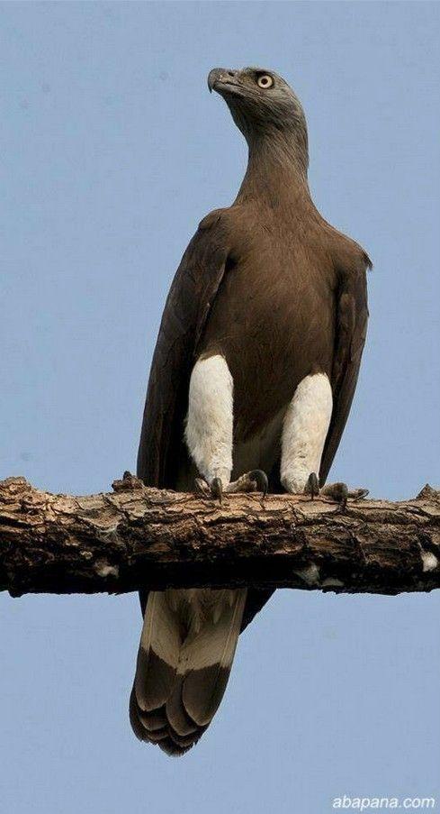 1000 id es propos de rapace diurne sur pinterest birds of prey faucon - Dormir tete au sud est ...