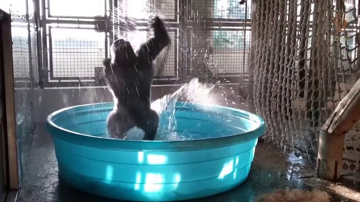 A Jubilant Gorilla Gleefully Dances and Twirls While Bathing in His Favorite Blue Kiddie Pool
