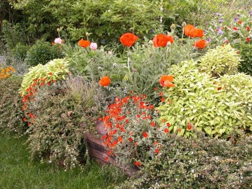 Sage and poppies can make a startling contrast in a mixed border garden that combines the use of evergreen herbs and perennials.