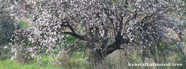 Almond tree in full blossom in Kranidi, fb covers by IzzyB