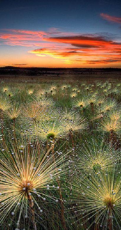 Paepalanthus at sunset in the Cerrado biome of Mato Grosso, Brazil • photo: Marcio Cabral on deviantart