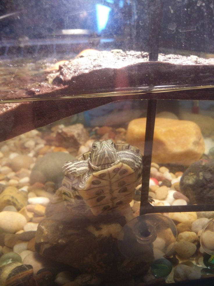 Happy National Turtle day. This is Venus my red eared slider. http://ift.tt/2rePVFy