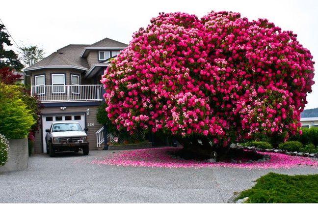 https://img.20mn.fr/pl1eKb5OQkWpmQ7IBGAS7g/648x415_ville-ladysmith-abrite-rhododendron-geant