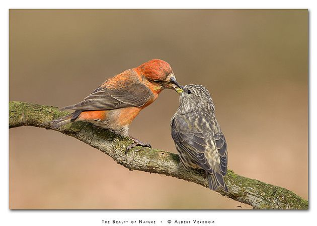 Vroege vogels Fotograaf: AldertV Je hebt 'Vroege Vogels' en je hebt vogels die er vroeg bij zijn. De kruisbekken bij mijn hut hadden 2 weken geleden al zulke grote jongen. Echte vroeg-broeders dus. Nederlandse naam: Kruisbek