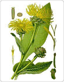 Quel est le rôle de l'Aunée ? Quelles sont les propriétés des racines, feuilles et fleurs d'aunée ? Quels sont leurs bienfaits ? Où peut-on la trouver ?