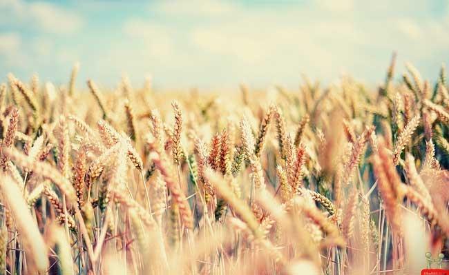 пшеничное поле фото (17)