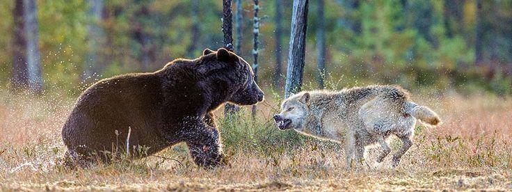 Wild Finland :: Bear