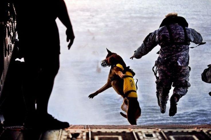 Dog jumping in the water.Un soldat de l'armée américaine et Pronto, un chien des forces spéciales, sautent de la rampe de lancement d'un hélicoptère Chinook CH-47 durant un exercice d'entraînement au-dessus du Golfe du Mexique.
