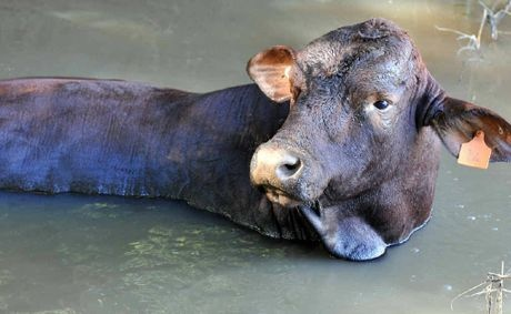 MUD BATH: Billy the bull, stuck in the mud in Terania Creek unable to come back to the bank of the river.