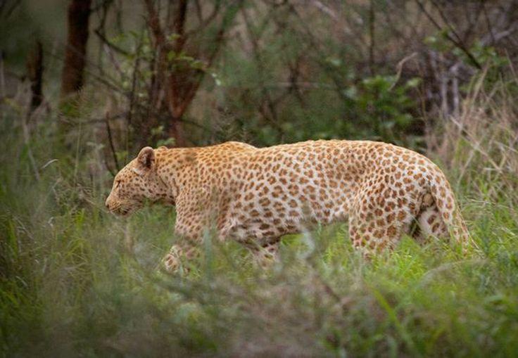 It's a pink leopard! Pink!!!!1!