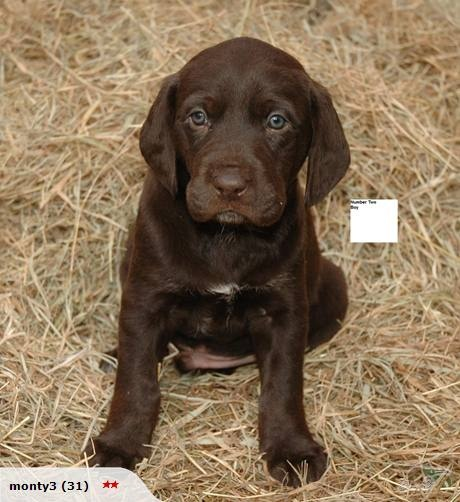 German Wire Haired Pointer x Lab Pups | yes please ...