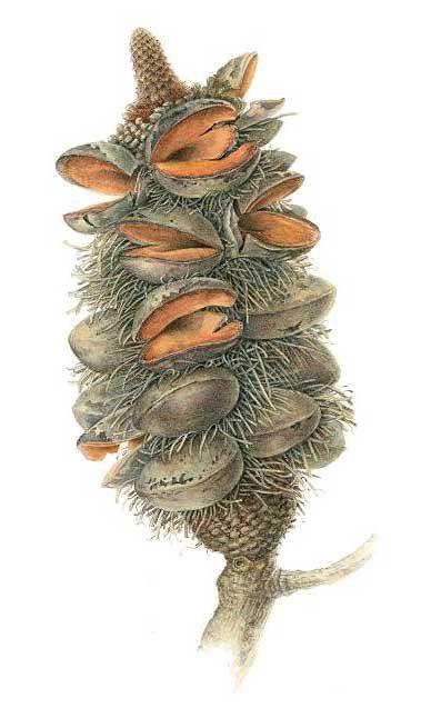 Banksia serrata - cone (Old Man Banksia)   Elaine Musgrave (1945 - )