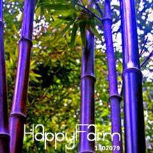 ¡ Venta caliente! Rare purple Timor Bambú Semillas Bambusa bambú negro plantado semillas patio Yi 100 SemillasPaquete, # FTTTLE