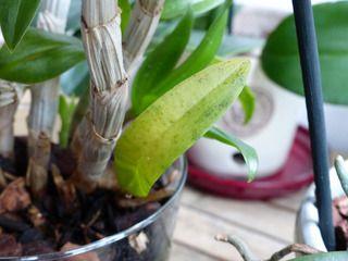 Suspicion de maladie virale sur orchidée