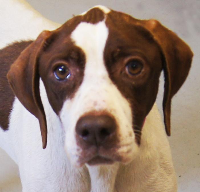 Adopt 2017 Bree On Pointer Puppies English Pointer Dog Pointer Dog