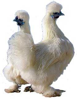 Курица, курица в домашних условиях, курица несушка, куры фото, курицы фото, фото кур,
