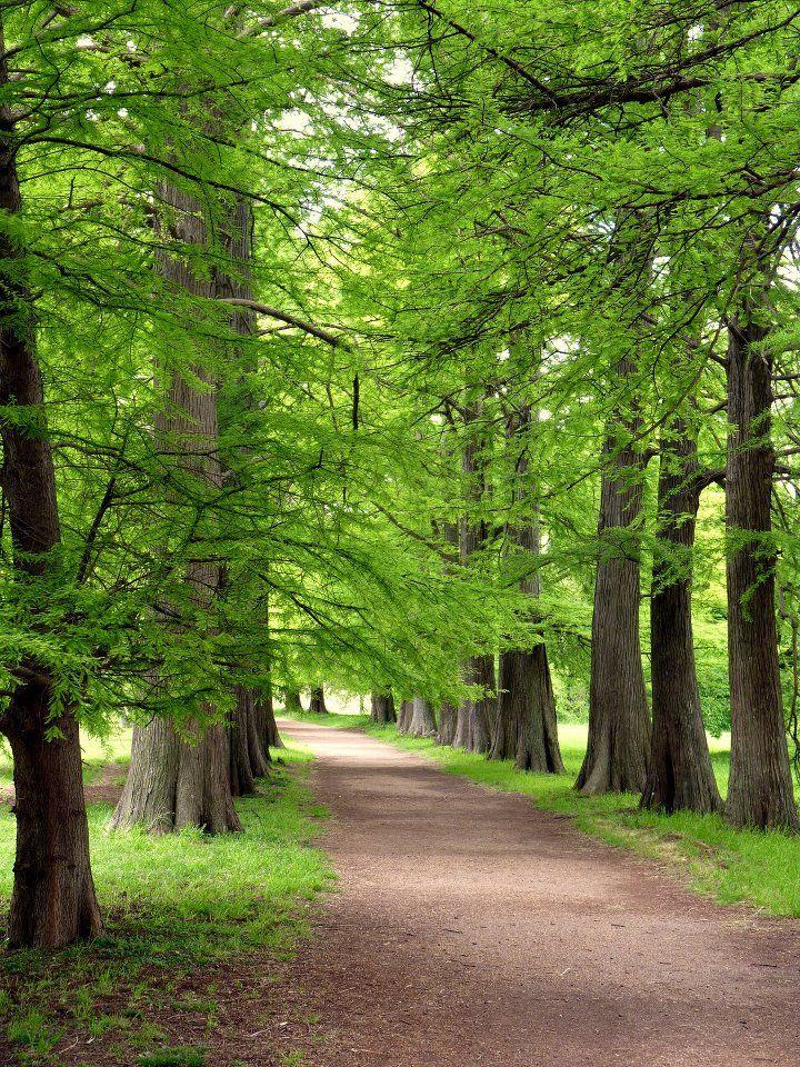 Avenida de los Cipreses  Calvos.  Mi paseo favorito en el Jardín Botánico de Montevideo, Uruguay.  Amo ese  lugar!!!!!