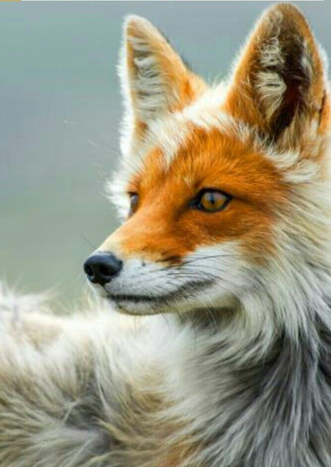 The Red Fox is a disciplined creature of the north western hemisphere. Sharing a close relation to dogs foxes are similar except for the fact that they are not as social. You can actually buy pet foxes as babies.