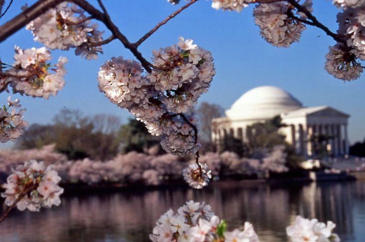 Cherry Blossom in DC: Cherries Blossoms, J79814Editedjpg 16001064, Blossoms Festivals, Amazing Photo, National Cherries, Nat L Cherries, Focal Points, Shorts Lists, Cherry Blossoms