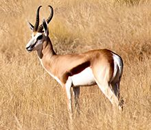 Wildlife at Serra Cafema | Wilderness Safaris Springbok antelope are seen amongst the grasses of the valley floors