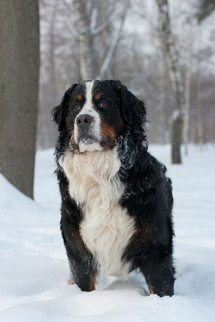Bernese Mountain Dog (For Katie & Wendi) :)