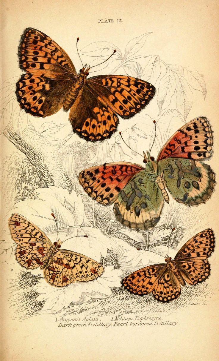 butterfly images for your art second set below are a series of vintage butterfly plates you are free to use these in your art to download an image