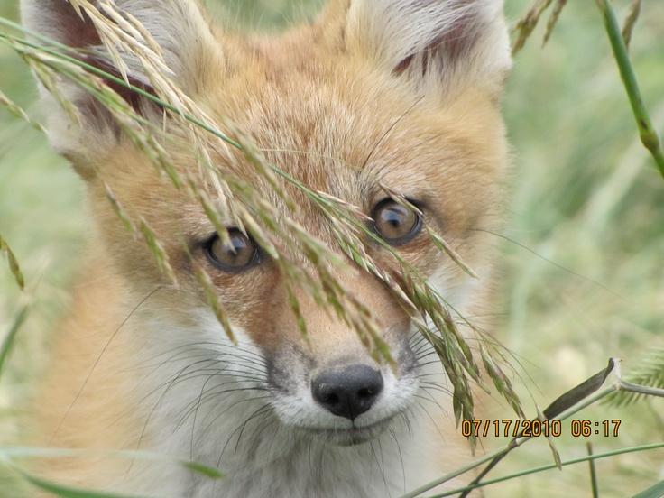 Fox  at Lake Diefenbaker, Saskatchewan