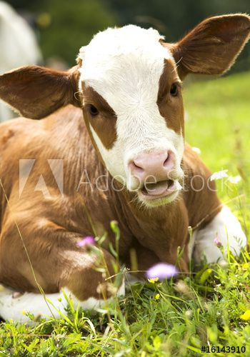 Portrait of a beautiful heifer (young cow) on the grass.