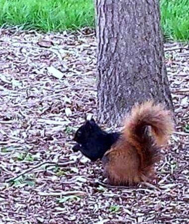 Black and Brown Piebald Squirrel (half black, half fox squirrel--a genetic mutant)