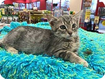 Woodstock, GA - Domestic Shorthair. Meet Koby, a kitten for adoption. http://www.adoptapet.com/pet/17832980-woodstock-georgia-kitten