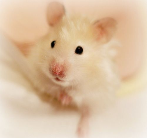 28 Best Images About Hamsters! On Pinterest