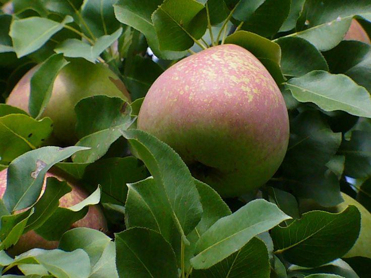 Мраморная – довольно требовательный сорт груши. Но регулярный полив, обрезка и подкормка принесут садоводу богатый урожай сочных и сладких плодов