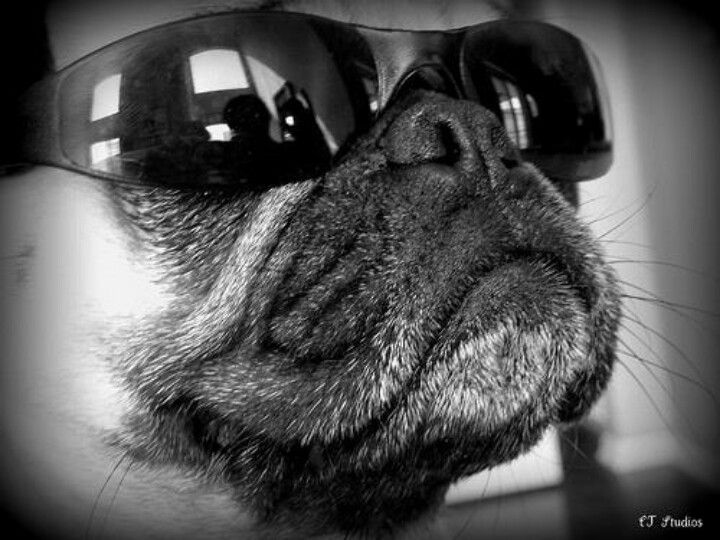 Pugs are as cool as they come... no effort, just cool.