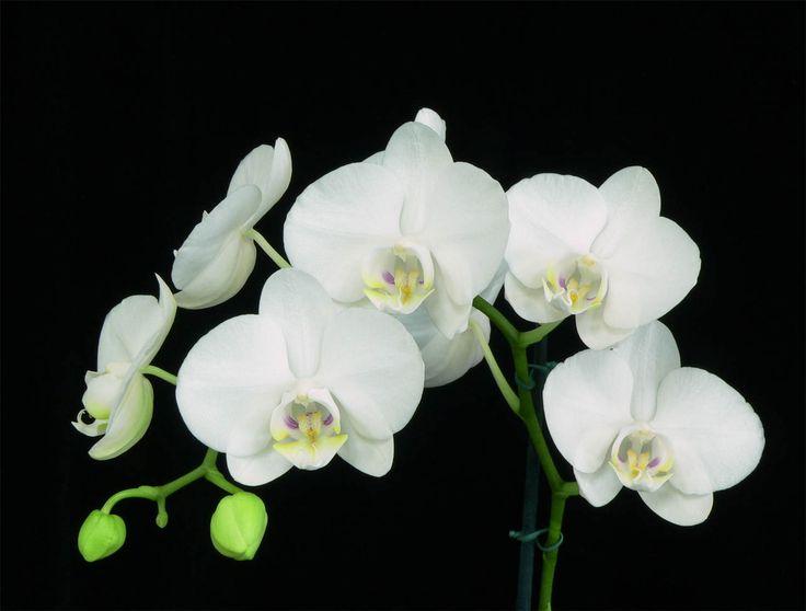 orchid | carstvo plantae red asparagales familija orchidaceae potfamilija ...