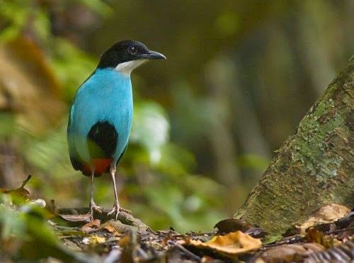 With 7,107 islands and 600+ bird species to choose from, the Philippines is one of the best birding destinations in the world! It is home to some of the world's most exotic birds. Several species