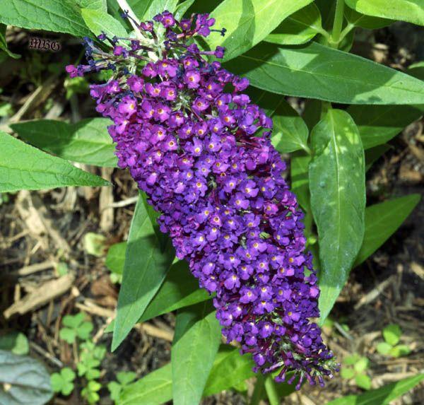 224 best images about butterfly garden plants on pinterest. Black Bedroom Furniture Sets. Home Design Ideas