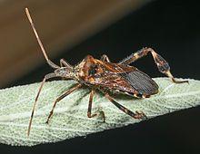 Western conifer seed bug - Wikipedia